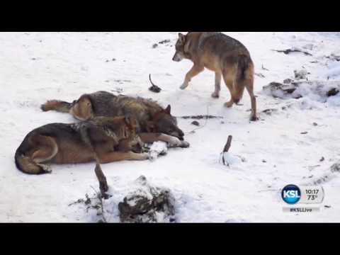 Wolves responsible for changes in Yellowstone National Park