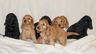 Чарли стал папой!!! Очаровательные щенки английского кокер спаниеля.