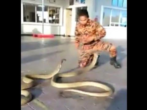 King cobra   Man Vs 2 King Cobra   National - SNAKES - geography