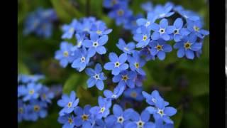 Cánh hoa lưu ly- Thái Bảo