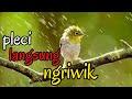 Terapi Air Hujan Untuk Burung Malas Bunyi Burung Stres Langsung Rileks  Mp3 - Mp4 Download