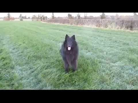 dog training session in Wales Vegan Belgian Shepherd Groenendaels with useless human