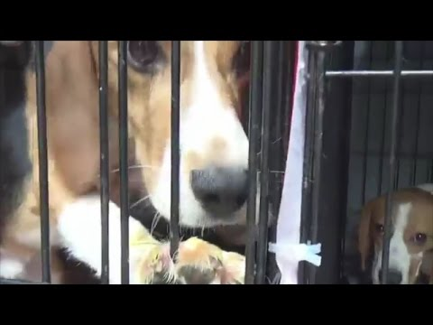 38 rescued beagles feel grass for the first time