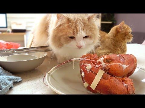 고양이를 위한 랍스타 요리