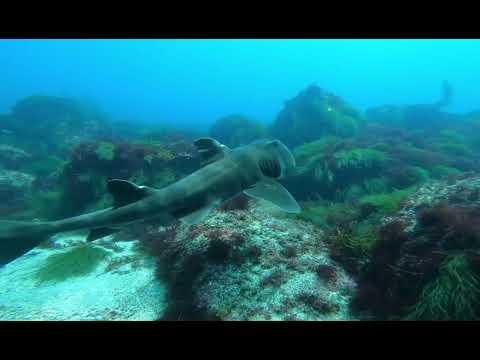 ネコザメ | 伊豆のダイビングで出会えるサメです