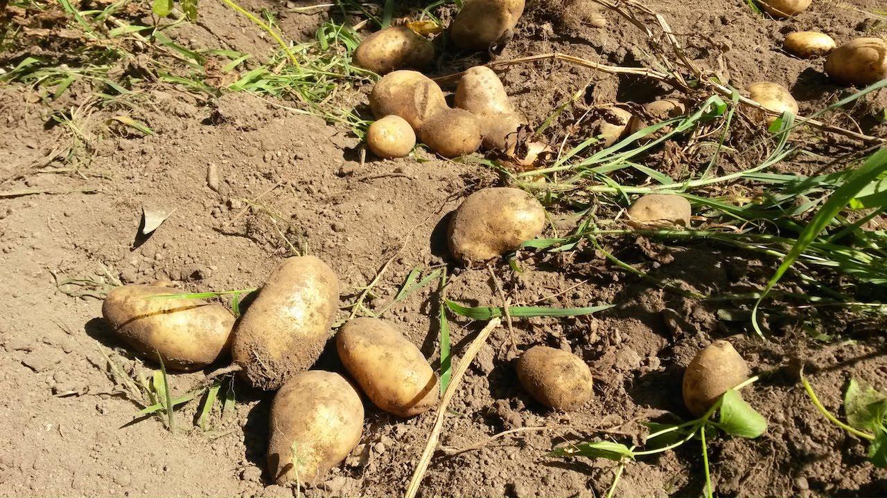 Come raccogliere le patate viyoutube for Quando raccogliere le patate