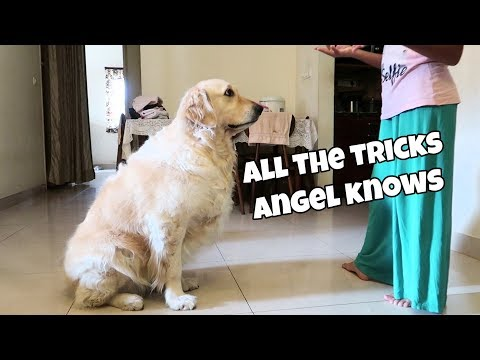 OMG! All the dog training tricks I've taught my Golden retriever - Angel 😍