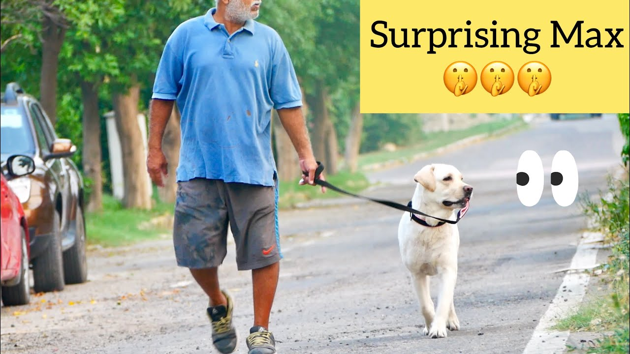 Labrador Dog is Shocked When Brother Surprise Visited During His Walk!