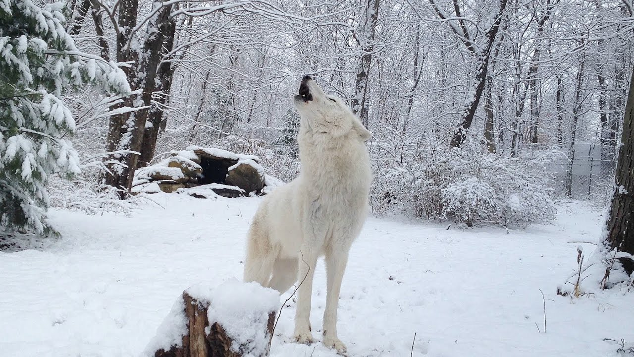 Arctic Wolf Atka's Snowy Howl - YouTube