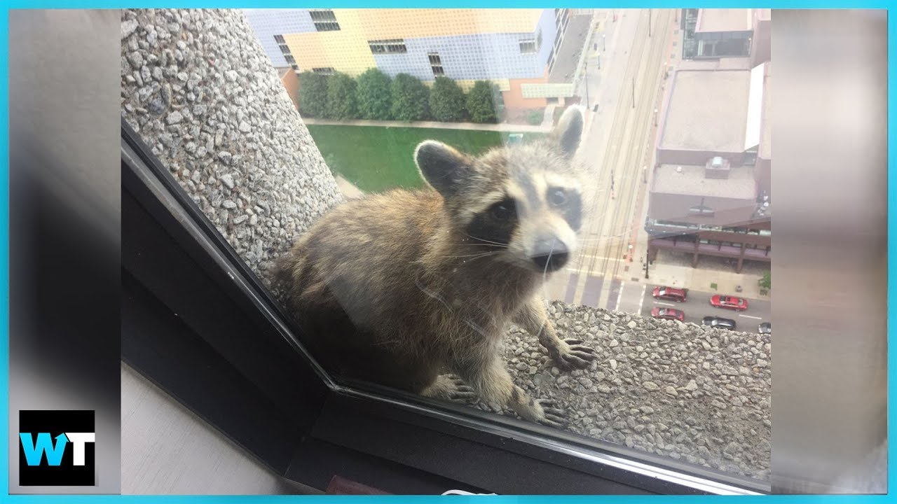 The Thrilling Saga of the MPR Raccoon!   What's Trending Now! - YouTube