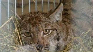Download Video Lynx Langka Berhasil Diselamatkan di Polandia MP3 3GP MP4