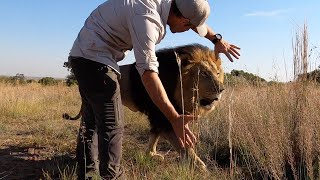 Roaring Times With Lions Gabby & Bobcat | The Lion Whisperer