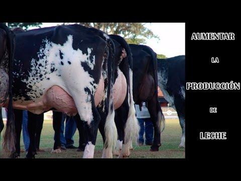 AUMENTA LA PRODUCCIÓN LECHERA EN TÚ GANADO BOVINO | Increase milk production in cows