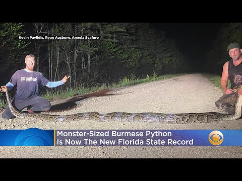 'Beast-Of-A-Snake-Breaks-Record-For-Largest-Burmese-Python-Captured-In-Florida