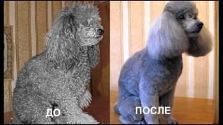 Любителям животных   Стрижки пуделей(Домашних животных необходимо периодически стричь. И сегодня никого не удивишь гламурной стрижкой пуделя...., 2015-01-18T10:09:03.000Z)