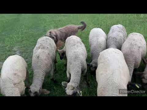 Тренировки с пастушьей собакой Бриар. Herding training with briard