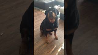 Rottweiler in trouble for mischief