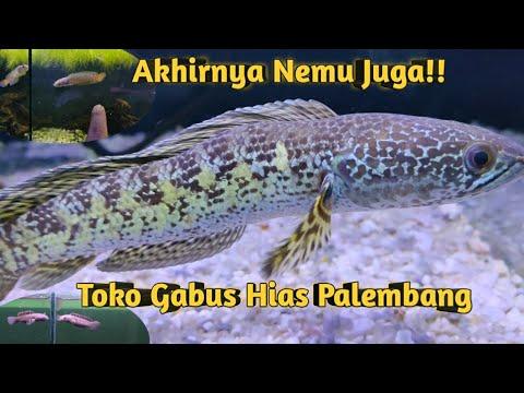 Unik Channa Auranti Zig Zag Body Review Toko Ikan Channa Di Palembang Youtube