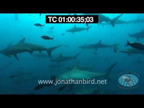Scalloped Hammerhead sharks underwater stock video footage 2