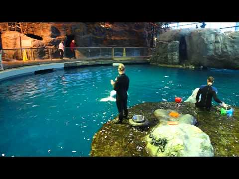 Beluga Whales Shedd Aquarium Chicago Youtube