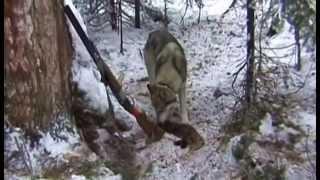 Проф. охота с гибридами лайки(ч2)