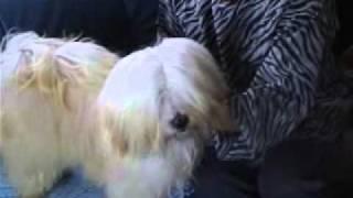 幸福を招く犬 珍犬 チベタン、テリア.