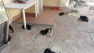 "Schanuzer Miniatura cachorros de Feeling""s kennel (diciembre 2013)"