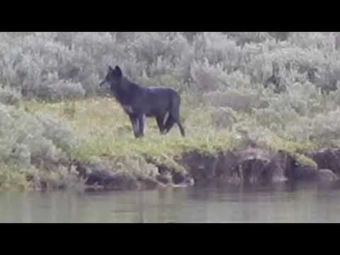 Wolf Howling at Hayden Valley Yellowstone National Park