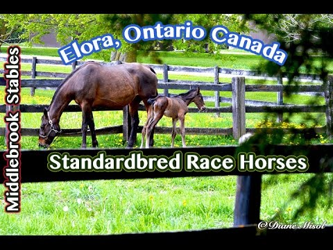 Middlebrook Stables, Standardbred Race Horses, Elora, Ontario, Canada - Travel Food Drink