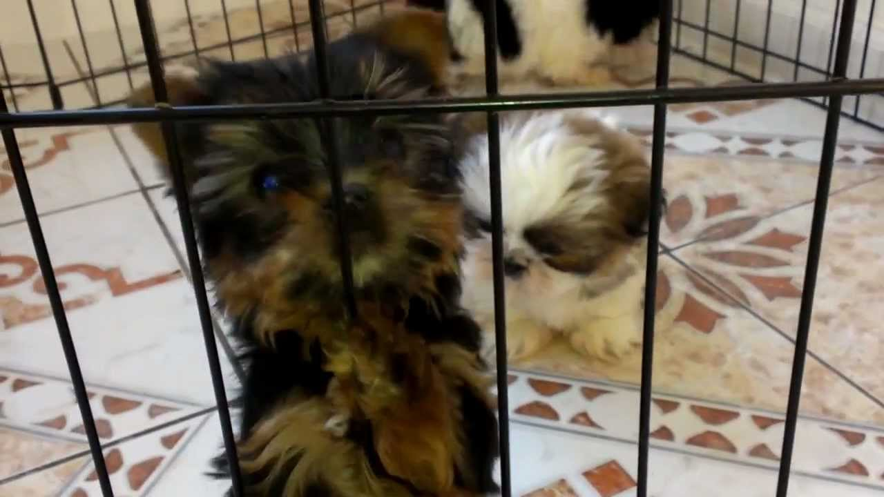 Teacup Shih Tzu And Yorkie Puppies Youtube