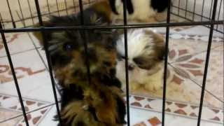 Teacup Shih Tzu And Yorkie Puppies