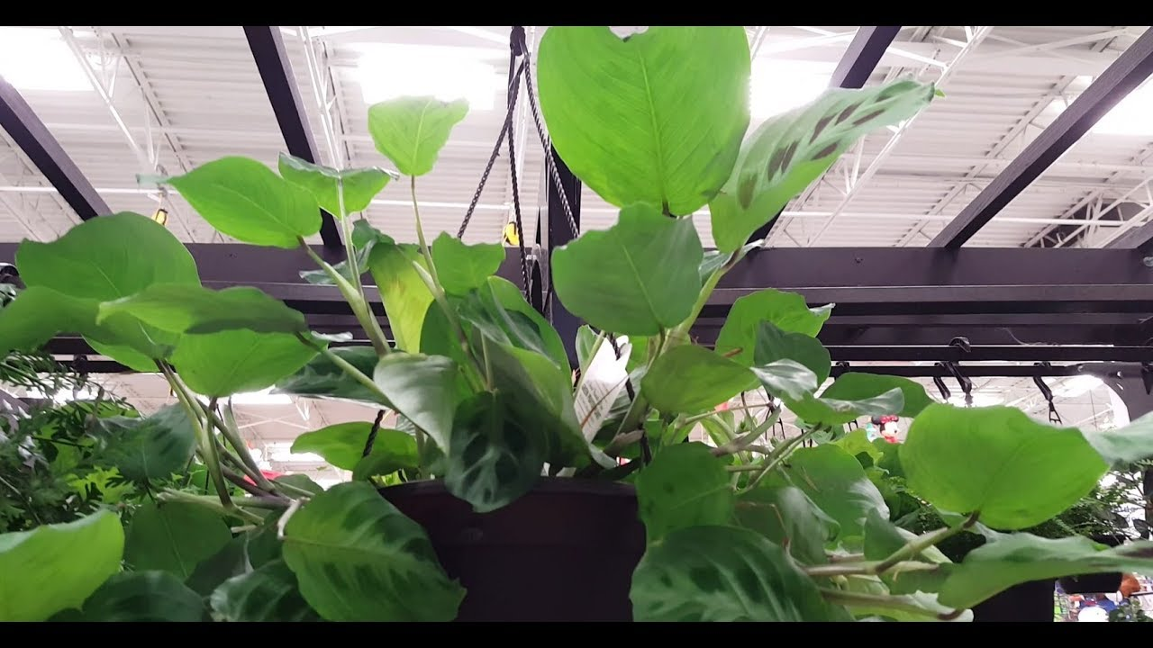 Prayer Plant Care Exotic Angel Donna Joshi Youtube