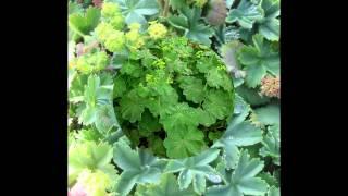 видео Манжетка обыкновенная–Alchemilla vulgaris L.