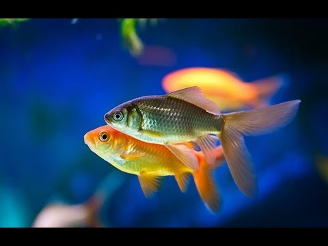 Most Popular Aquarium Freshwater Fish for Beginners - YouTube