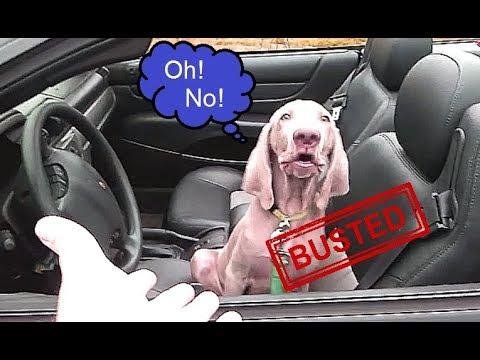 Weimaraner Puppy dog caught driving a convertible car!