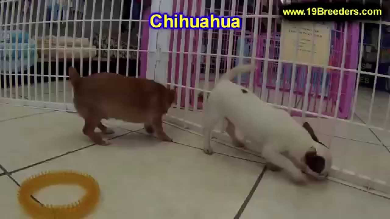 Chihuahua, Puppies, Dogs, For Sale, In Miami, Florida, FL, 19Breeders,  Tallahassee, Gainesville