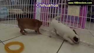 Chihuahua, Puppies, For, Sale, In, Jacksonville,florida, Fl,tallahassee,gainesville,