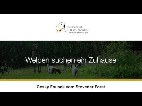 Cesky Fousek Welpen suchen ein verantwortungsvolles Zuhause (Welpenprägung/Welpenzüchter)