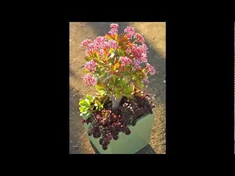 Succulent Container Garden with Pink Jade and Red Sedum