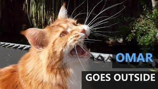Omar the Maine Coon cat goes outside