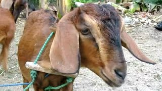 ANGON WEDUS - Funny Goat Farm Feeding - Kambing Jantan Lucu [HD]