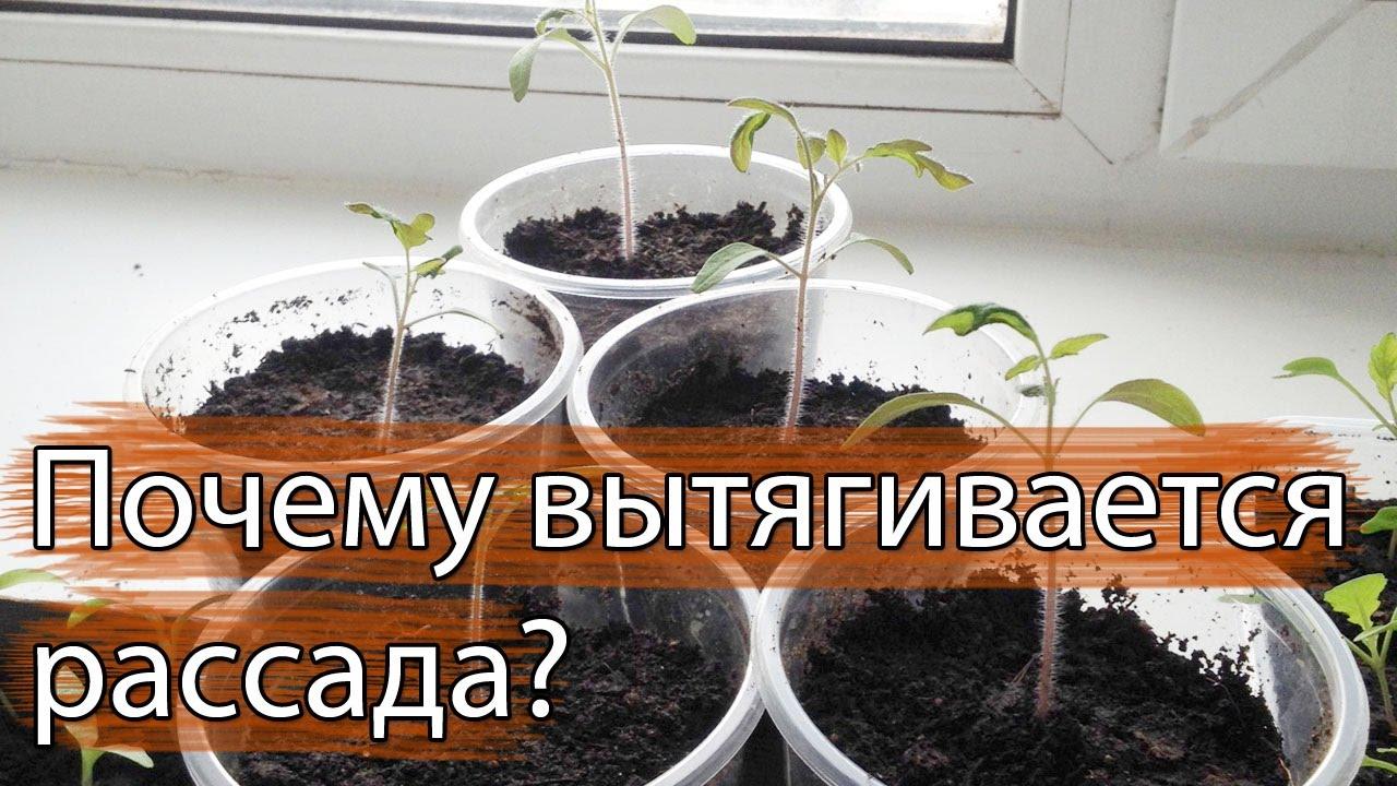 Что делать, если вытягивается рассада? | Люблю свой сад