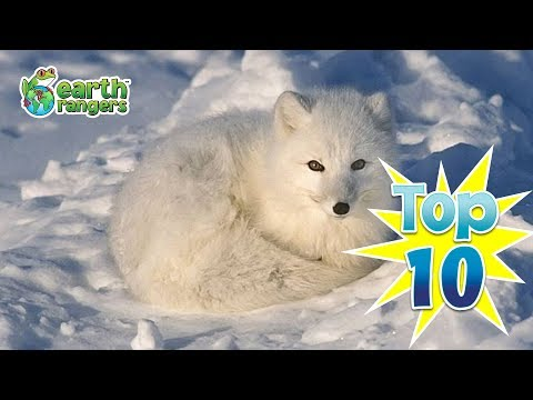 Top Ten Animals that Love the Snow