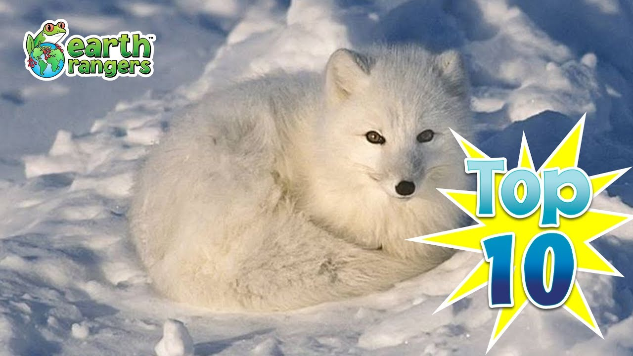 Top 10: Animals that Love the Snow
