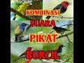 Kombinasi Suara Pikat Burcil  Mp3 - Mp4 Download