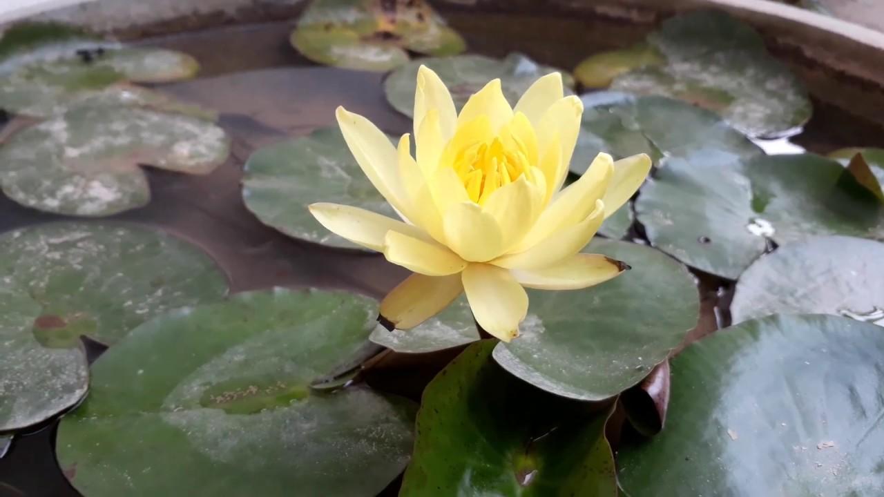 Yellow Lotus Youtube