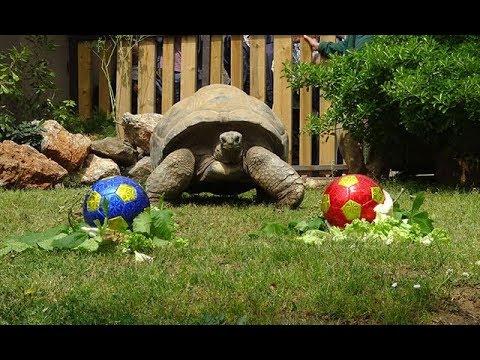 Dev kaplumbağa Tuki&39;nin derbi tahmini