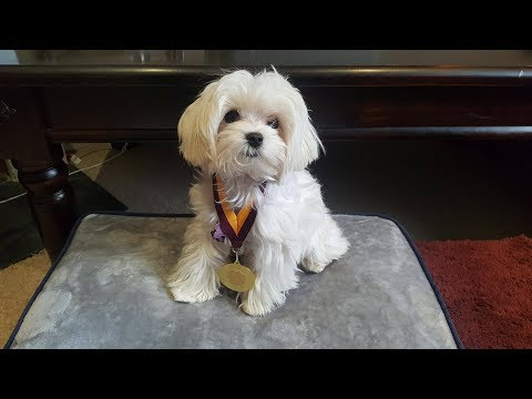 Zuri - Maltese Puppy - 2.5 Week Residential Dog Training