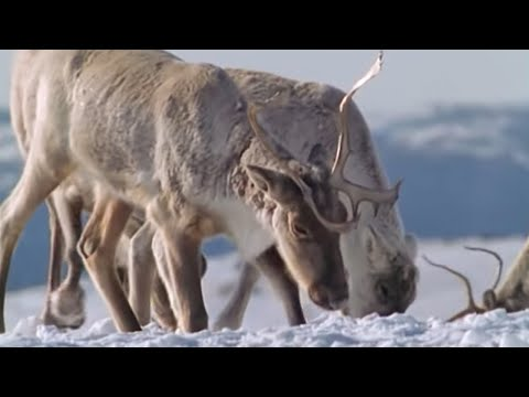 Caribou on the move | The Greatest Wildlife Show on Earth | BBC