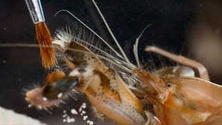 Pistol Shrimp's Cavitation Bubble | Richard Hammond's Invisible Worlds | Earth Lab